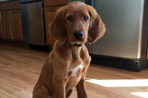Irish Setter Puppy in the Kitchen